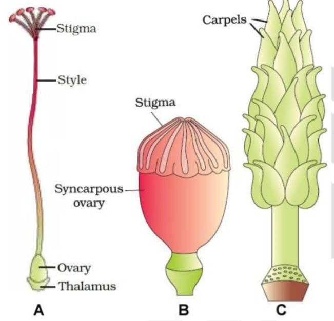 sexual-reproduction-in-flowering- plants-class-12-notes